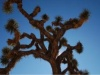 ein Joshua Tree