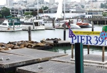 Pier 39 und die Seelöwen
