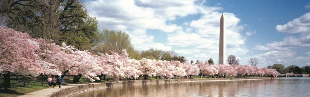 Washington Monument mit Kirschbäumen in Blüte