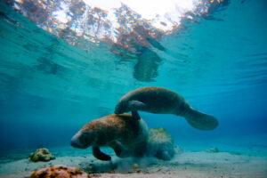 Manatees, Mote Marine Aquarium