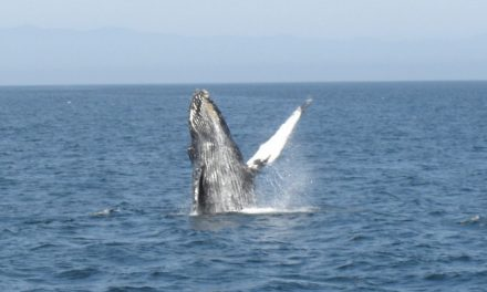 Whale Watching in Kalifornien