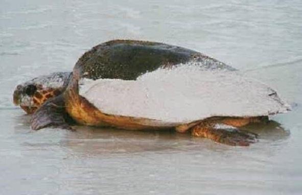 Turtle Watch auf Anna Maria Island – zum Schutz der Schildkröten