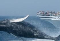 Whale Watching, Neuengland, Foto Credit Cape Cod Chamber of Commerce (Kim Jojackni