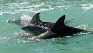 Delfin Familie, Dolphin Explorer, Marco Island