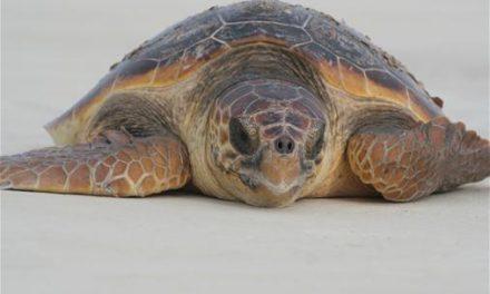 Das lustige Tapsen – Schildkrötensaison an der Paradise Coast