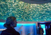 Schwarm Pazifischer Sardinen in kreisrundem Aquarium