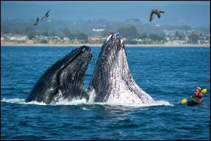 Wale an der Küste von Santa Cruz