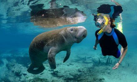 Florida Highlight – Schnorcheln mit Manatees an der Golfküste