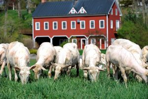 Old Chatham Sheepherding Company
