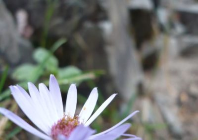 Flora in den Rockys
