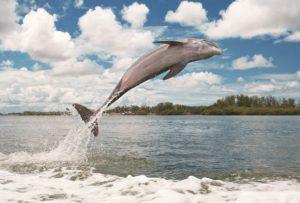 Sarasota Bay Dolphin, credit Heather Young