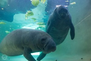 Manatee Exhibit Dive