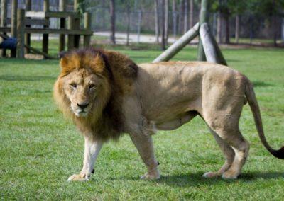 ein echter Löwe darf nicht fehlen